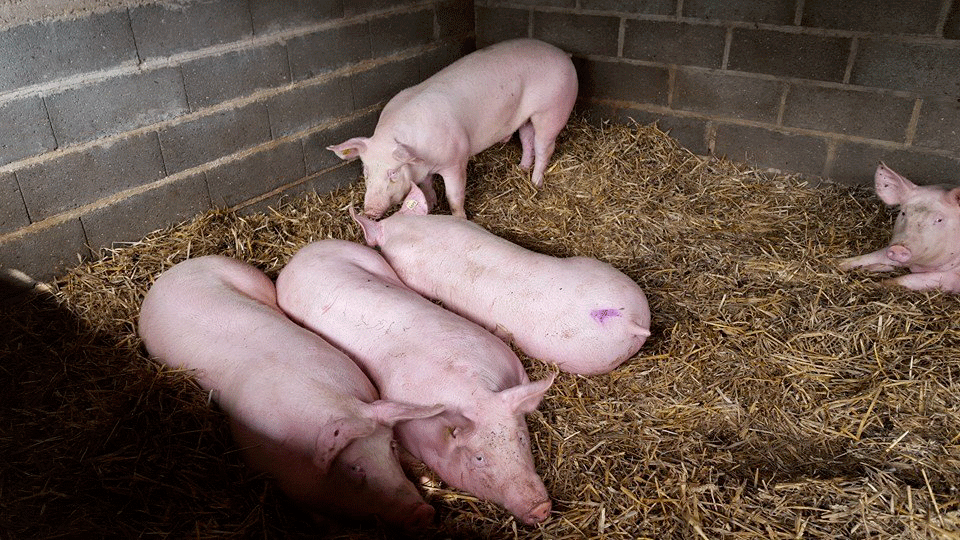 cochons-paille